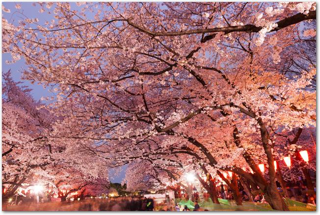 上野公園の満開の夜桜の風景