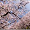 上野のお花見スポットはどこ?混雑はどのくらい?場所取りは必要?