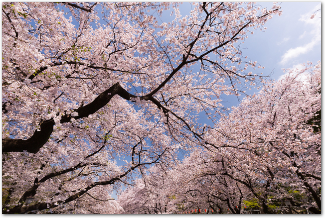 青空を背景にした上野公園の満開の桜の様子
