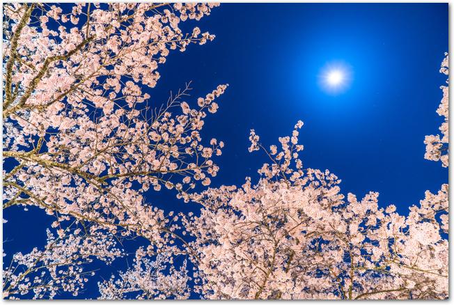 月の光に照らされてた夜桜の様子