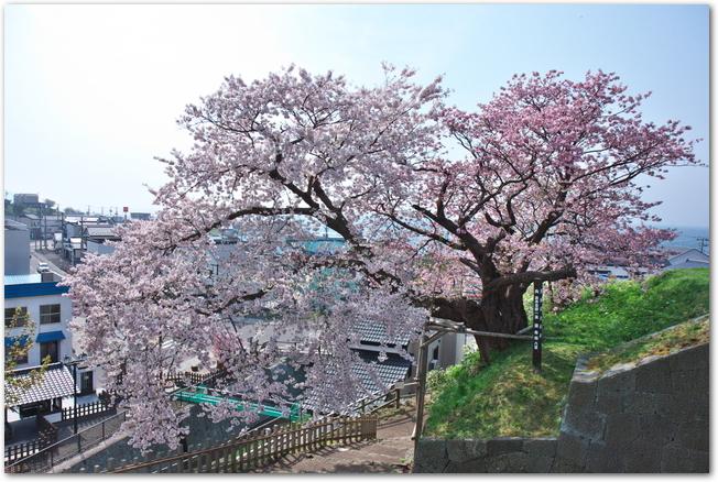松前城にある夫婦桜が満開になっている様子
