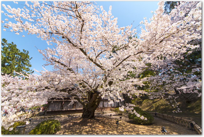 弘前城の日本最古のソメイヨシノが満開になっている様子