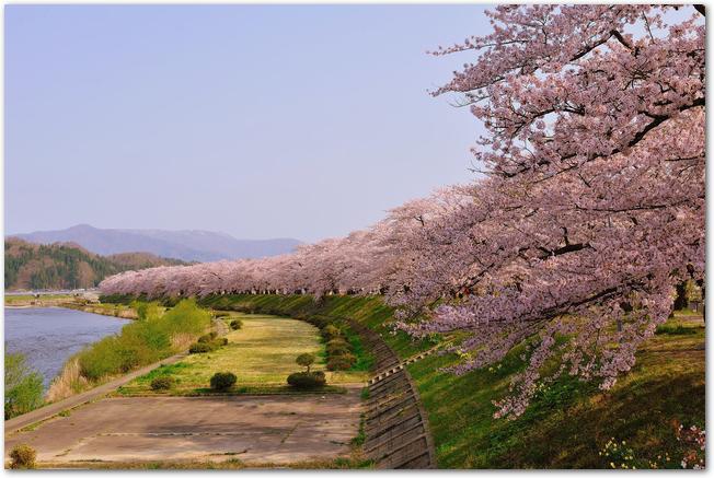 桧木内川の川沿いの遊歩道と桜並木の様子