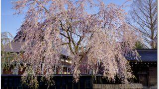 角館の桜の見所は?川沿いは?グルメのおすすめは?