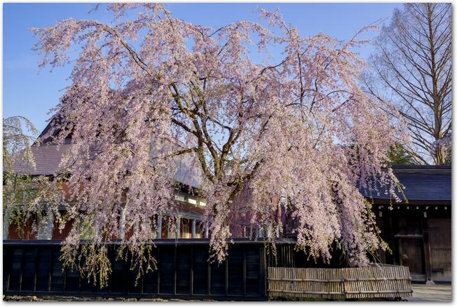 角館の武家屋敷通りに咲く満開の枝垂桜の様子