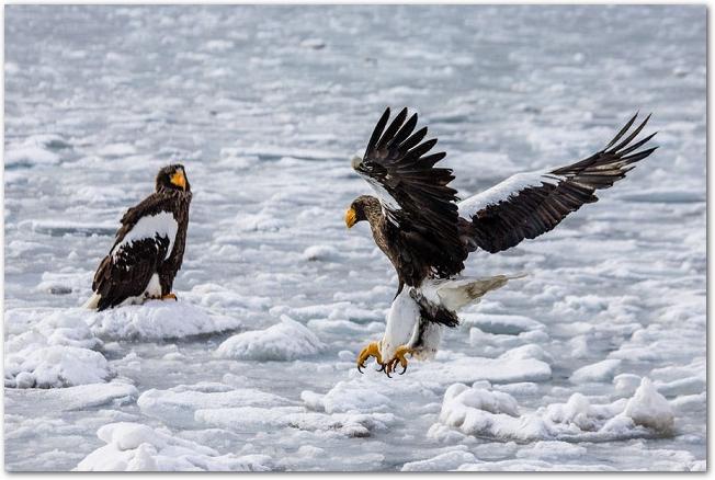 知床の流氷の上にいる二羽のワシ