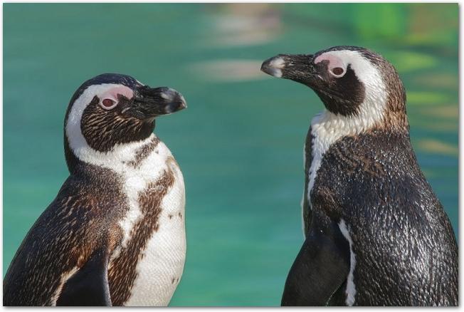 水辺に二羽のペンギンが立っている様子