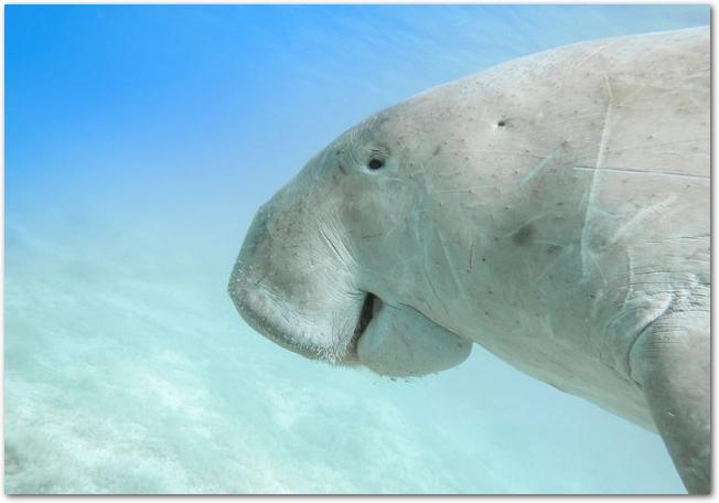 泳いでいるジュゴンの横顔